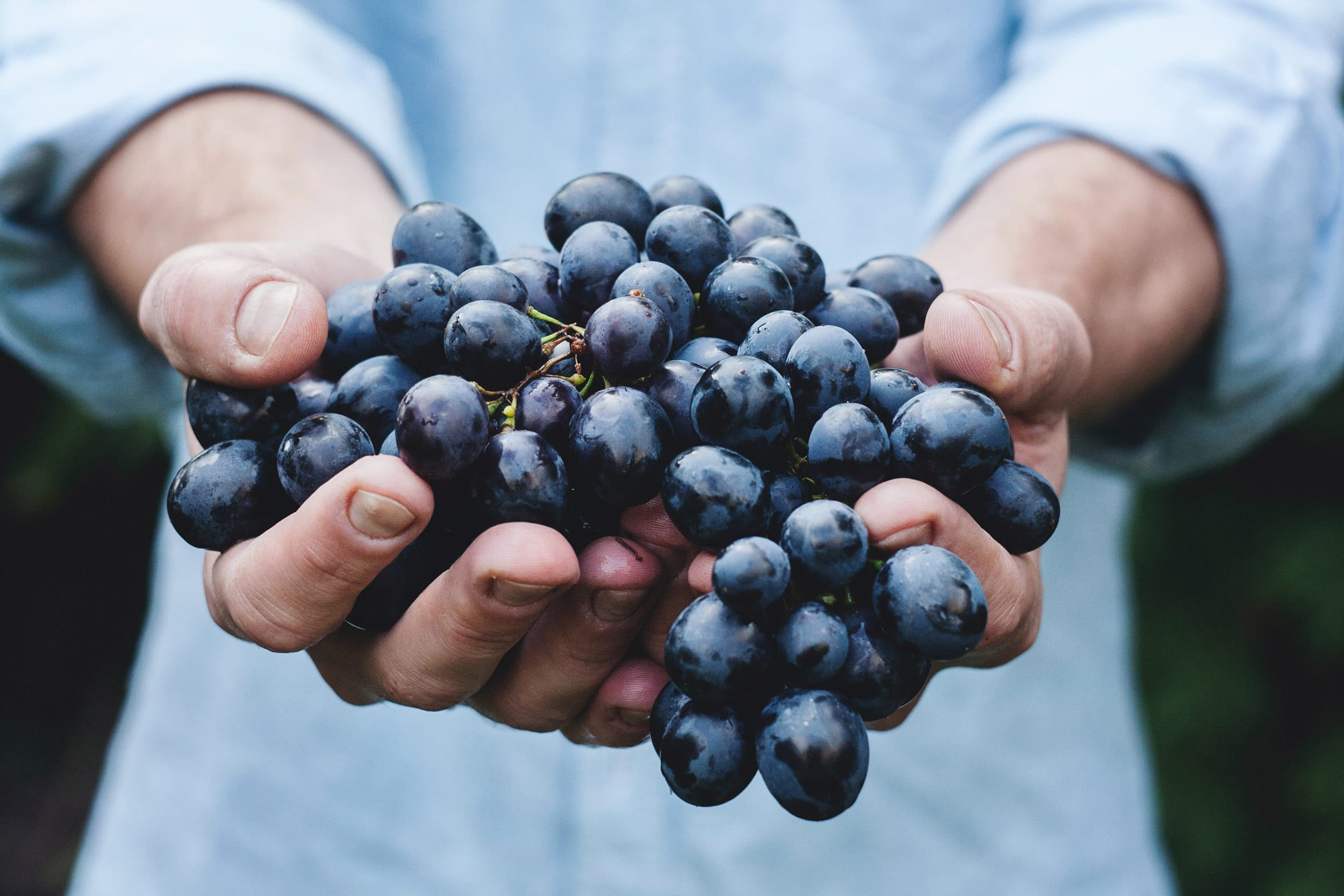 Hands holding bunch of black grapes